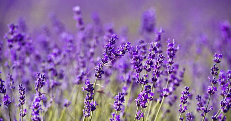 Levandulová inspirace: zařiďte si domov ve stylu Provence